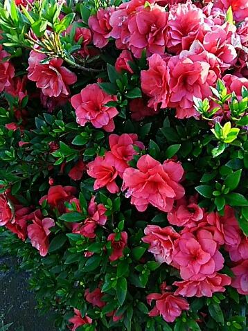 5月も終わりに近付いて来ましたがサツキ(皐月)は今が盛りと咲き続けています!
