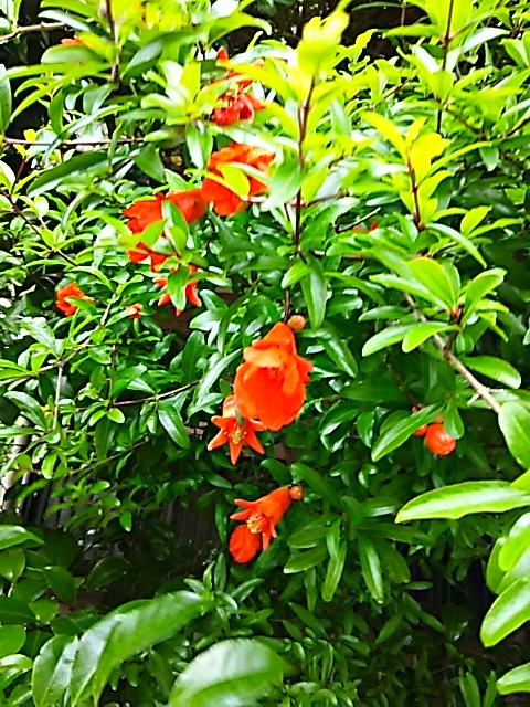 ザクロ(柘榴、石榴)の色鮮やかな花が咲き始めました!