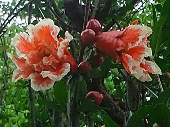 綺麗な花ザクロ(花石榴、花柘榴)が咲き始めましたよ!