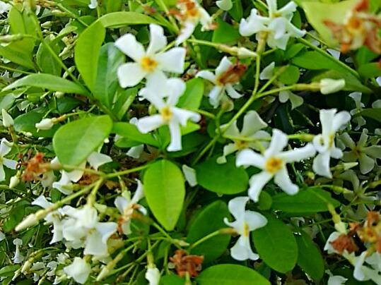 テイカカズラ(定家葛)は良い香りですが有毒植物ですから可愛い花を眺めて香りを楽しむだけにしましょう!