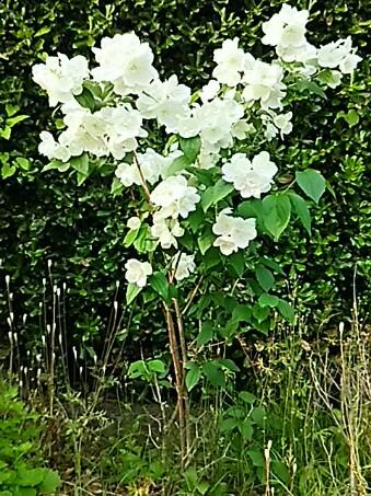 兎に角、美しいその咲き姿が目をひきます!(セイヨウバイカウツギ・西洋梅花空木)