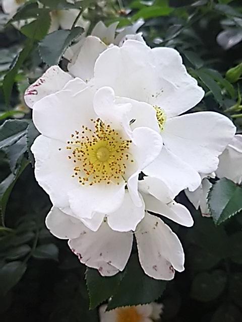 我が家の外壁を飾るバラは梅雨と共に咲き始めます!