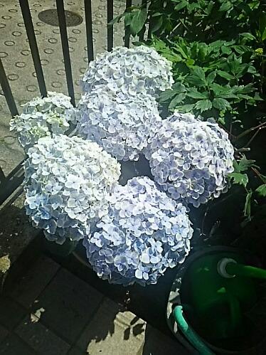 ☆そろそろアジサイ(紫陽花)我が家編☆