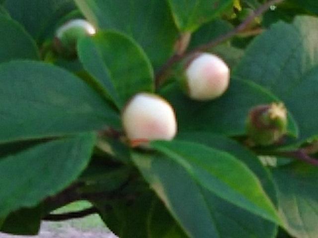 ナツツバキ(夏椿、シャラノキ・沙羅樹、サルスベリ)の花は涼しげに!