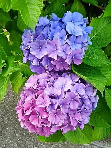 アジサイ(紫陽花)色いろ、ぼんぼり編♪
