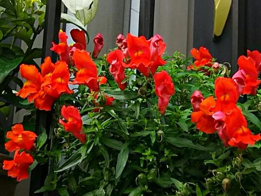 玄関先の花(ペチュニア、キンギョソウ)