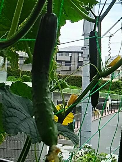 我が家のミニ家庭プランター菜園(キュウリ、ナス編)