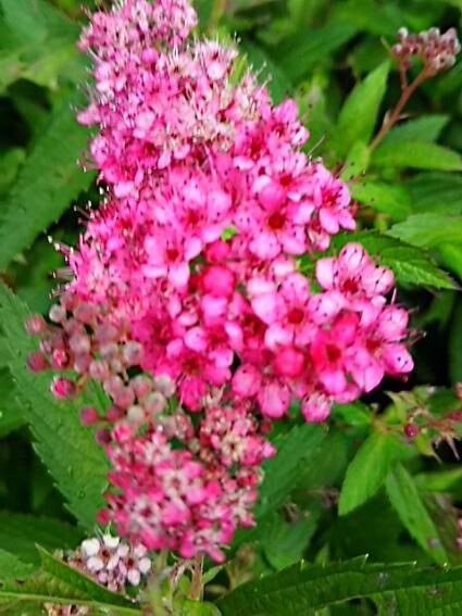 シモツケ(下野)の花は今年二回目の開花♪
