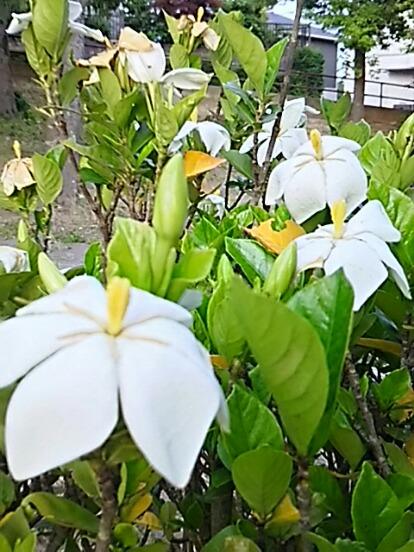 最近は少なくなってきた一重咲きのクチナシ(梔子)の花