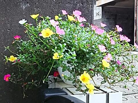 今夜のお花はポーチュラカ(ハナスベリヒユ)です!