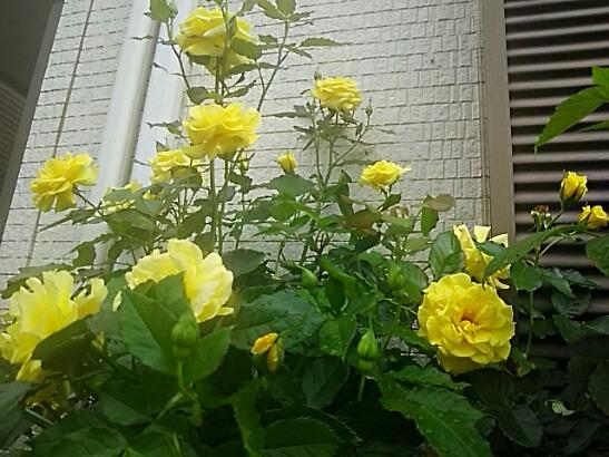 今日は王子の誕生日なのでこの王子の黄色いバラ(薔薇)を飾りましょ!(*^▽^)/★*☆♪