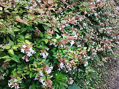 アベリアも長く咲き続けるお花ですね!