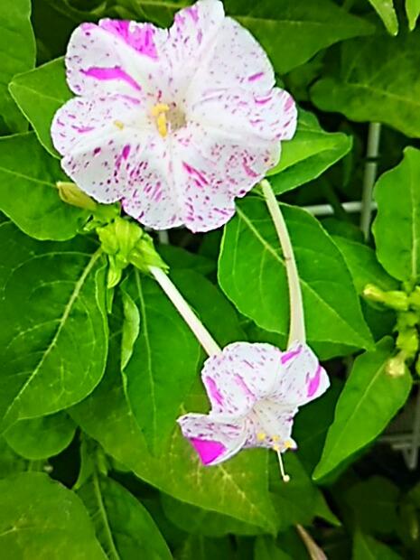 オシロイバナ(白粉花、ユウゲショウ、ミラピリス)散歩の時間に楽しみます♪