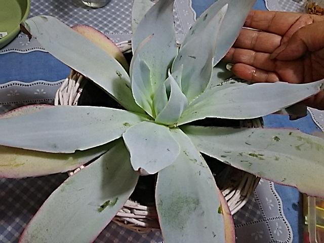 多肉植物エケベリア(シードラゴン、カンテ)