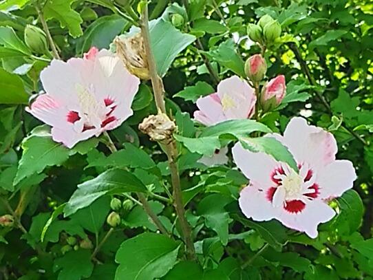 ムクゲ(木槿、ハチス、キハチス、モクゲ)の花も夏の花