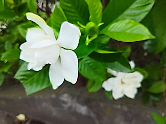 遅くなりましたが八重のクチナシ(梔子)の花を!