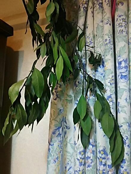 今年もいつものご近所さんにローリエ(月桂樹の葉)を枝ごと頂きました!(*^^*)