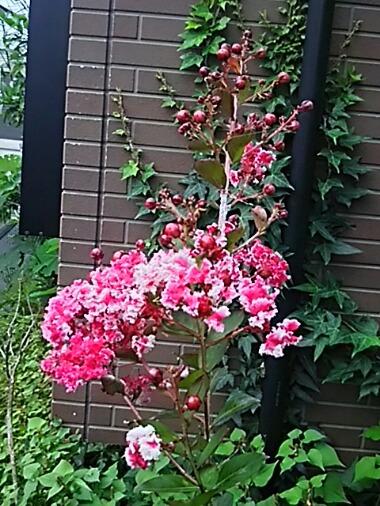 今年も鉢植えの蘖サルスベリが元気に咲き始めています!