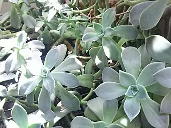 庭のクロホウシ(黒法師、サンシモン)と名前が分からない多肉植物