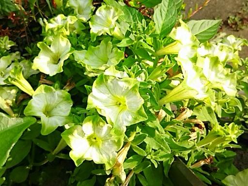 我が家の玄関先の花たちは暑い中も元気に咲いてくれていますよ!今夜はポーチュラカと緑のペチュニアを‼