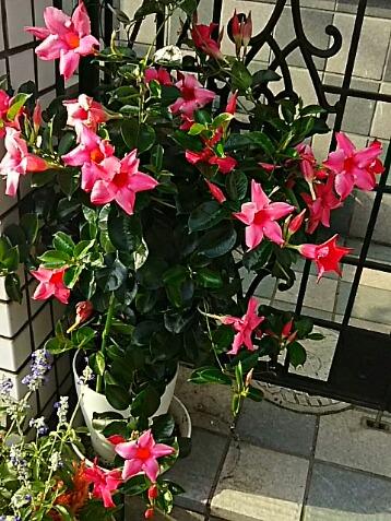 今朝も我が家の玄関先を飾る花たちを‼(サンパラソルビューティー、キンギョソウ)