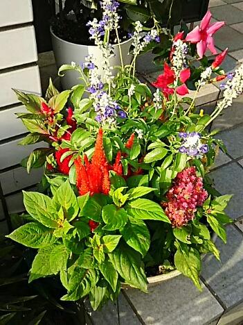 さあ、我が家の玄関先を飾る花たちは今夜でラストに致しますね(^-^)/