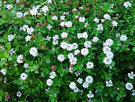 この花はイベリス?それともイベリスの仲間?はたまた。。。