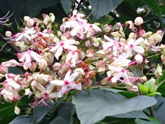 「アニカンジェイピー」コラムページ、高橋直純 の『ぎゅぎゅっと直缶』第56回更新です!お花はクサギの花を‼