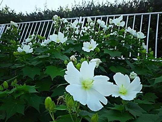 フヨウ(芙蓉、木芙蓉)の花