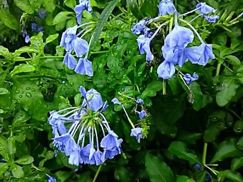 雨の中に咲く花の青さ