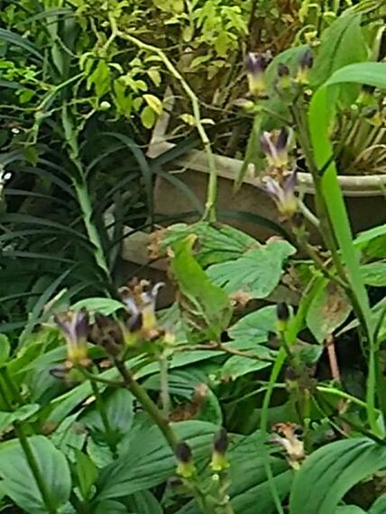 ホトトギスはいつもいつの間にか咲き始めています!