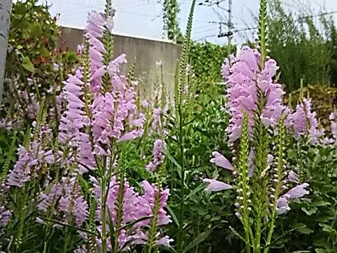 いつもの場所でハナトラノオ(花虎の尾、カクトラノオ)が並んで咲いています!