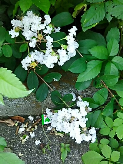 真っ白なサルスベリ(百日紅)が咲きました!が、何でこんな所から?