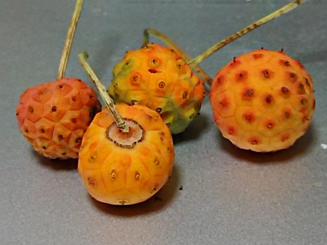 秋は木の実の時期でもありますから今夜はヤマボウシとボケの実を!