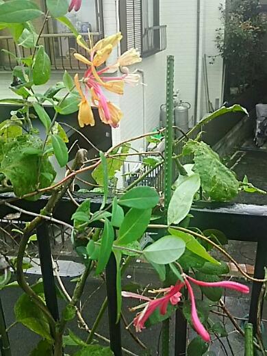 ハニーサックルがまた咲き始めました♪でも・・・