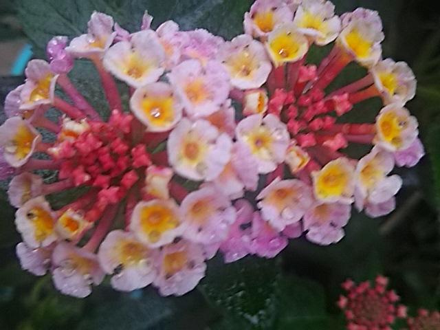 今朝は庭で頑張って咲いてくれているランタナ(七変化)のカラフルな花♪