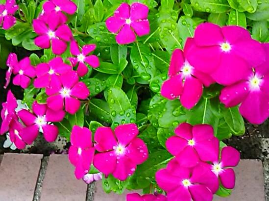 暑いのが大好きなお花だけど、まだまだ綺麗に咲いています!ニチニチソウ(日日草、ピリカ)