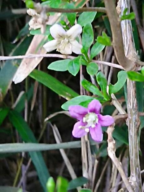 クコの花も雑草の中で静かに咲いています!