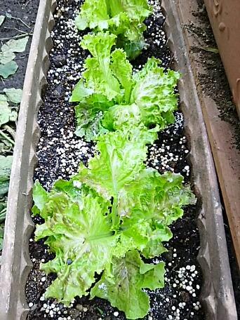 ただ今現在の我が家のプランター菜園の顔ぶれ!