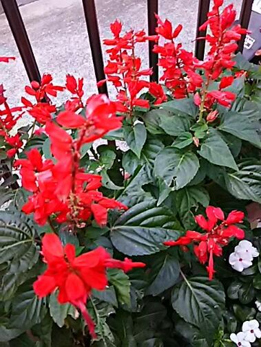 真っ赤なサルビア(ヒゴロモソウ・緋衣草、サルビアスプレンデンス)の花が秋を彩ります!