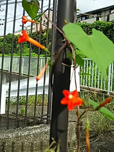 マルバルコウ(丸葉縷紅、マルバルコウゾウ、縷紅朝顔)の朱色の花が今年も此処で咲いています☆