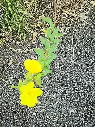メマツヨイグサは黄色い花