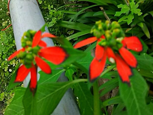 夏の小さなポインセチア(ショウジョウソウ・猩猩草)