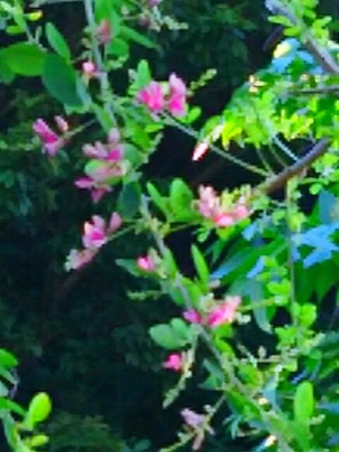秋の七草の一つ(萩の花)