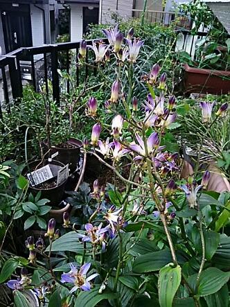 ホトトギス(杜鵑草、杜鵑)が本格的に咲き始めました!