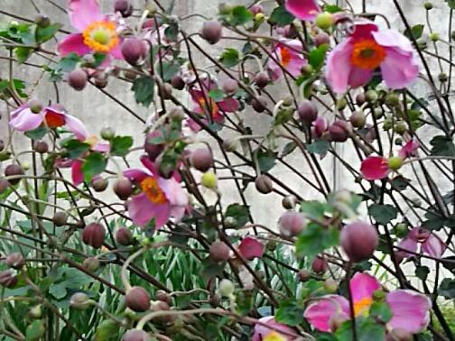 今夜のお花はシュウメイギク(秋明菊、貴船菊)です!