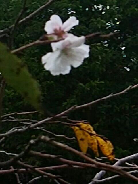 十月桜と共に2017年10月の直さん(高橋直純)です!(直祭り~♪)行っちゃいまする~!