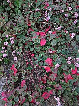 ヒメツルソバ(姫蔓蕎麦、ポリゴナム)の葉が紅葉し始めています!
