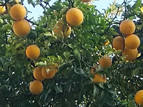 カラタチ(枳、枳殻、枸橘、唐橘)の実をご存知ですか?