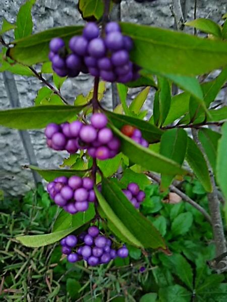 コムラサキ(小紫式部)とシロシキブ(白実の小紫)の実